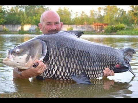 Tổng hợp những loài cá nước ngọt lớn nhất thế giới!