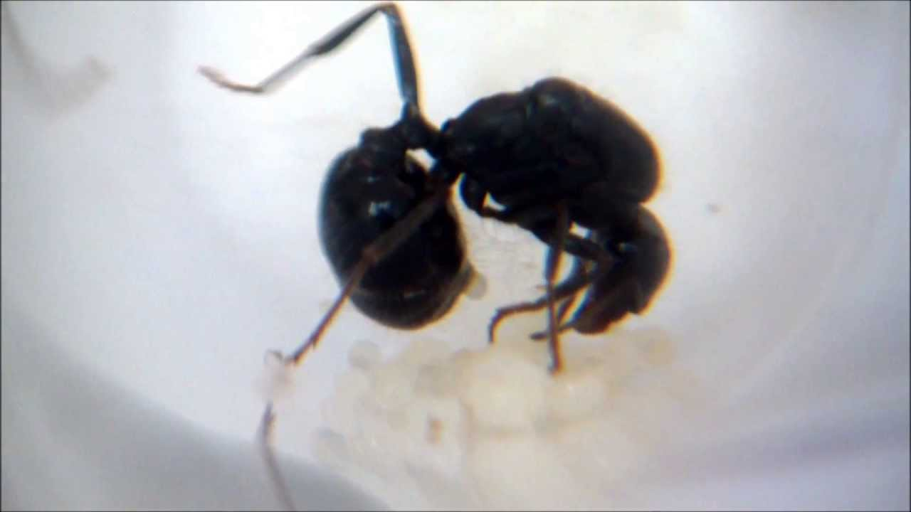 Queen ant laying an egg - YouTube
