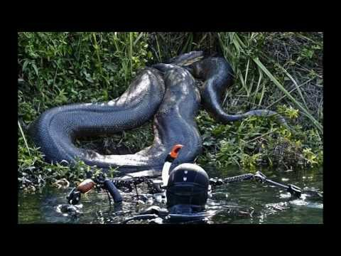 World's biggest snake found alive in Mexico 2013