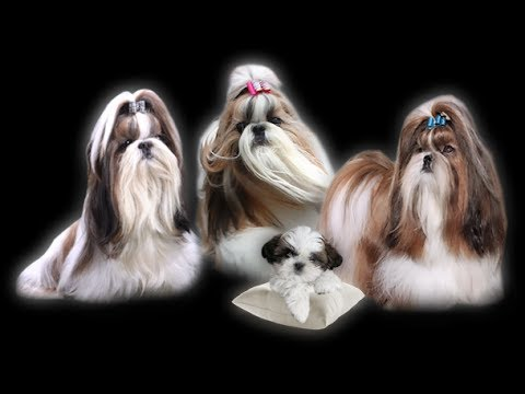 Video zu Shih Tzu