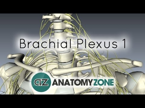 Brachial Plexus - Branches - 3D Anatomy Tutorial