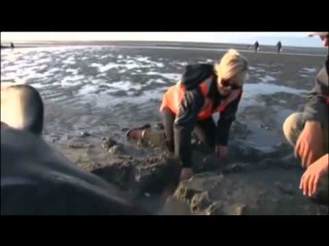 Whales refloated after 50 become stranded on New Zealand beach -- video