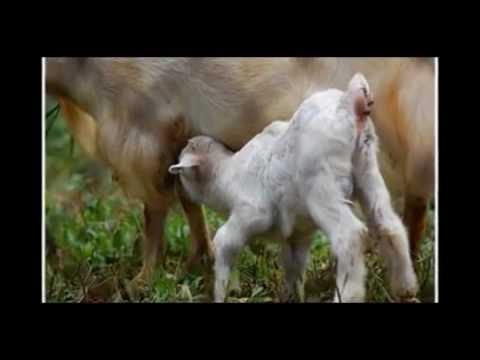 Hình ảnh dê con quỳ bú sữa (sub Việt - thiện ca) ~ Đạo Hiếu