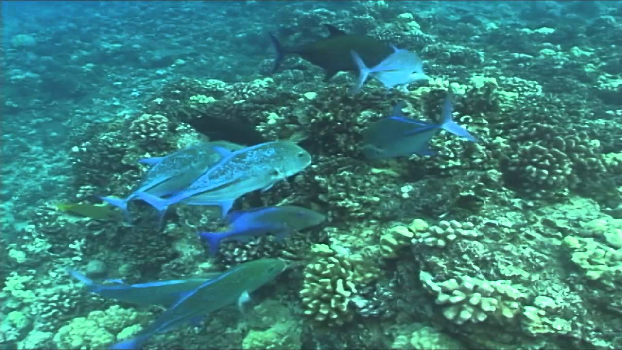 Best hawaiian reef fish frenzy youtube for Hawaii reef fish