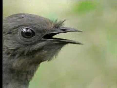 Amazing! Bird sounds from the lyre bird,  David Attenborough presents the amazing lyre bird, which mimics the calls of other birds - and chainsaws and camera shutters - in this video clip from The Life of Birds. This clever creature is one of the most impressive and funny in nature, with unbelievable sounds to match the beautiful pictures.