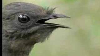 Amazing! Bird Sounds From The Lyre Bird David