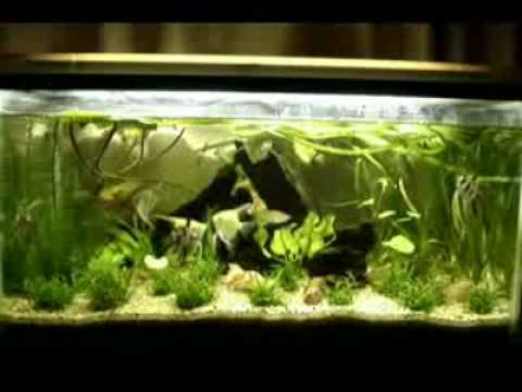 freshwater angel fish my 3rd planted tank, - YouTube