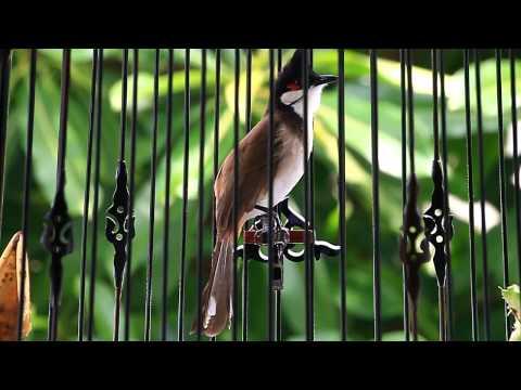 My Red-whiskered Bulbul