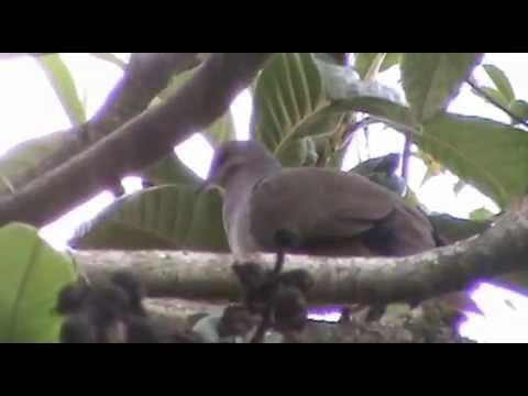 Juriti-pupu (Leptotila verreauxi)