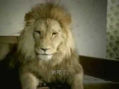 原來獅子也會偷情,那這樣他的下場是被吃…