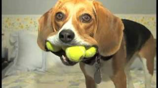 テニスボール4つ投げたら全部くわえて持ってくる犬