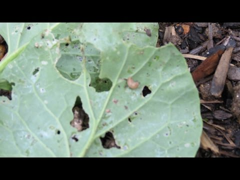 How to Use & Make Neem Oil Spray: Clearly Identifying Whiteflies, Asparagus Beetles, Snails & Slugs