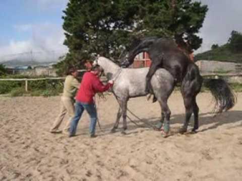 Horse breeding part 3♘ Belgian draft horse mating ♘♘