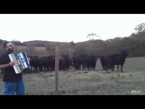 Коровам нравится аккордеон
