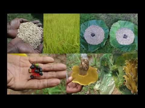 Tribal Medicines of Gandhamardan Hills for Ureteral cancer: Film by Pankaj Oudhia