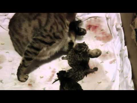 Lynx Hybrid - WARNING - Graphic kitten birth