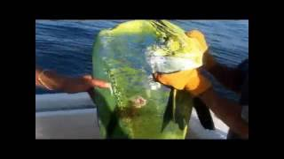 World Record Dorado BIG Large Huge MAHI MAHI Dolphinfish
