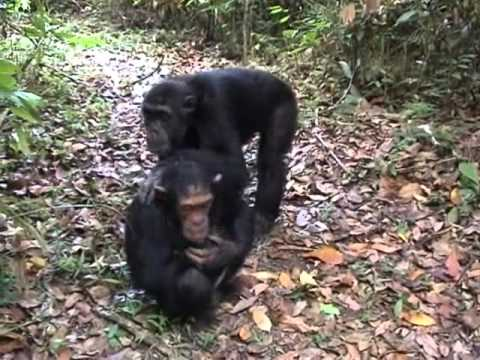 mating chimpanzees in Mahale Tanzania