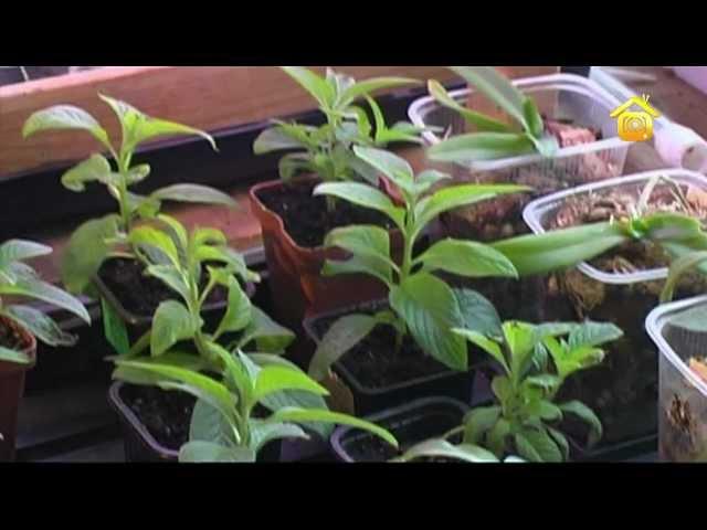 Голубика и брусника, посадка и уход DVDRip биологические и экологические особенности