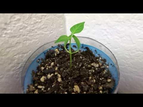 CFL grow - JP - 34 days