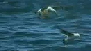 Orca Attack On Great White