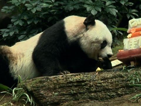 Најстарата панда во светот го прослави својот 37-ми роденден и постави нов Гинисов рекорд