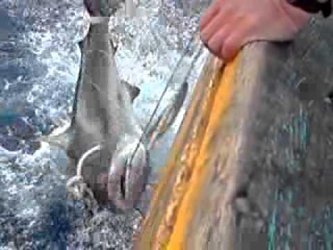 Câu cá mập Long Hải ( 2 M )