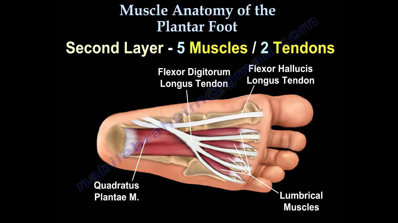 Muscle Anatomy Of The Plantar Foot