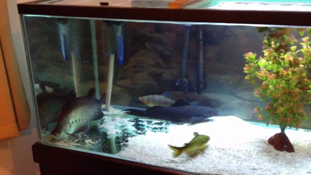 monster fish tank 300 gallon huge full grown 25 clown