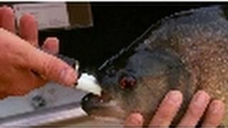 Piranha Bite Force   National Geographic