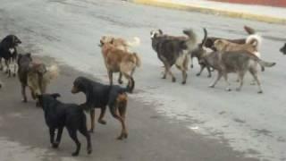 JAURIA DE PERROS RABIOSOS ATACAN NEGOCIO