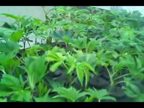 3D Cannabis Center Clones