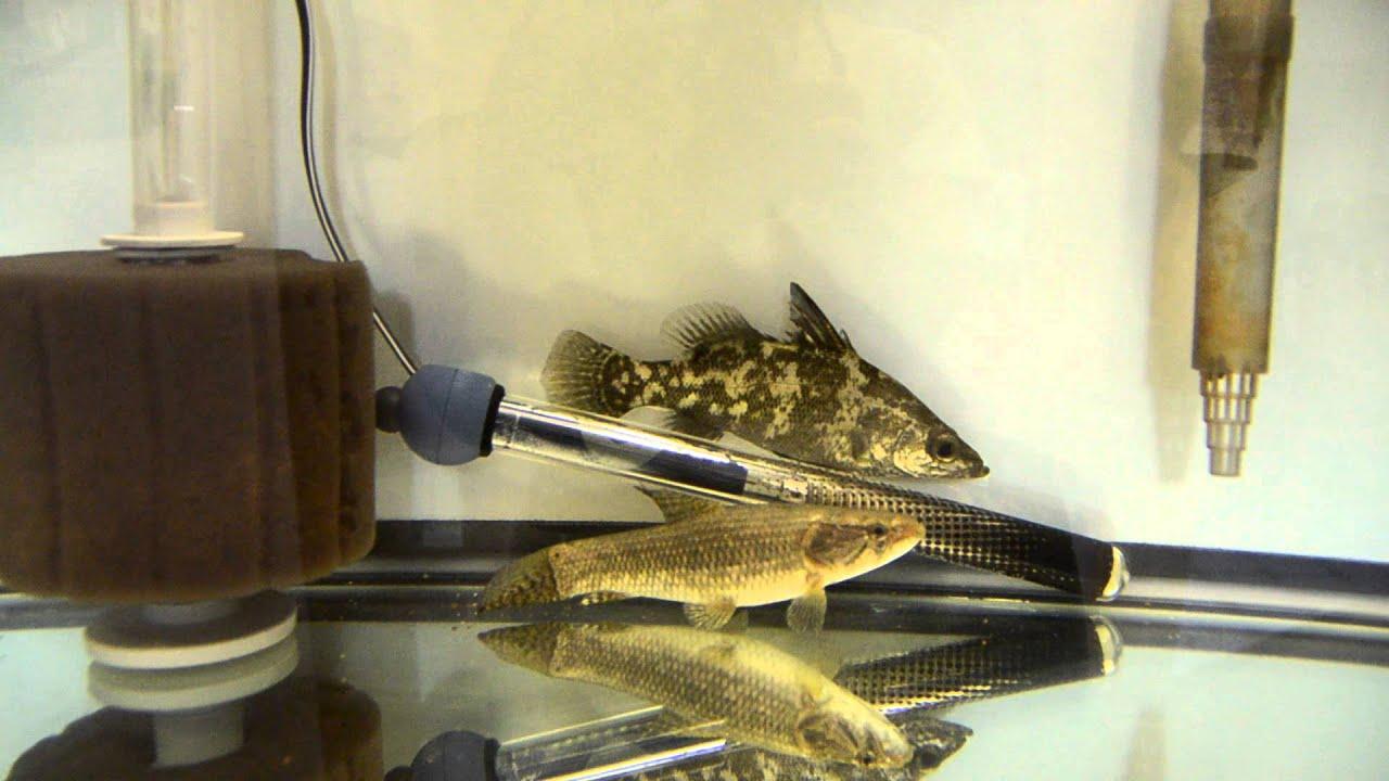 Nile Perch.SP Argentina Wolf Fish. Black Bar Silver ...