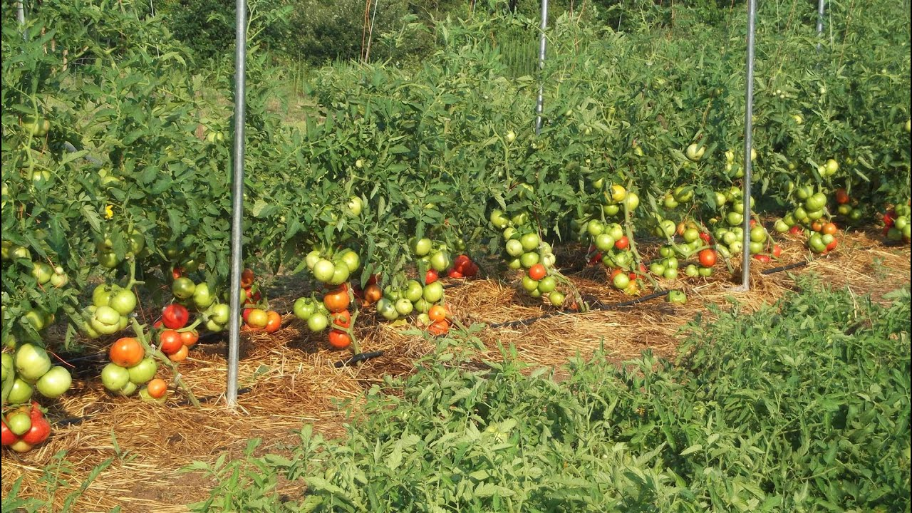 Impressive Big Beef Tomatoes Gardening Amp Prepping Youtube