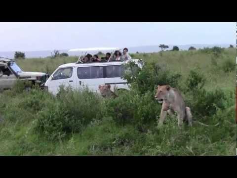 leones cazando kenya