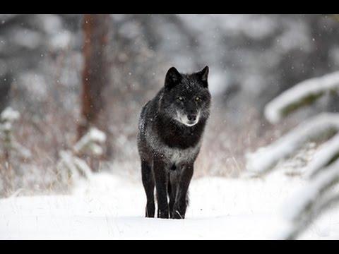 Black Wolf - Sói đen. Tập tính săn mồi, sinh sản của loài sói