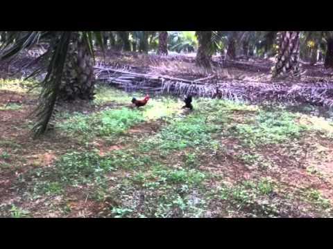 Pikat ayam hutan xpandai 8