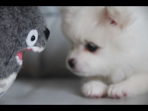 Cute puppy & Totoro, Hey guys!! You guys asked for more footage of the puppy! Here she is. Thank you to everybody's suggestions. You guys must be wondering what her name is..... ...