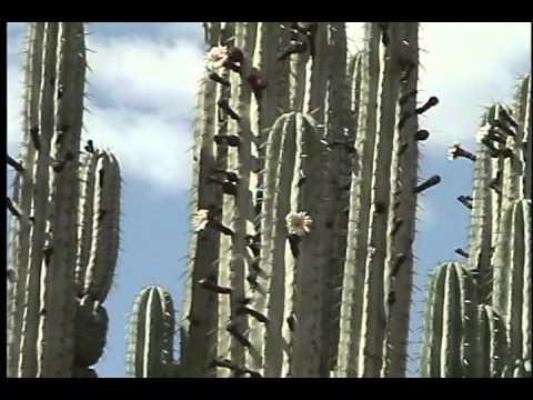 CACTUS GIGANTES DE OAXACA (Pachycereus weberi).avi