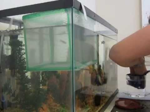Removing fry baby fish from net or breeders box youtube for Fish breeder box