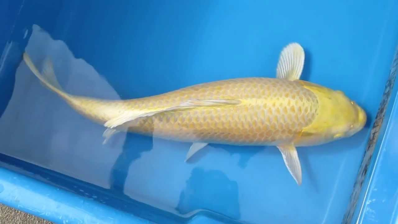 20 yamabuki ogon japanese koi fish youtube for Ogon koi fish