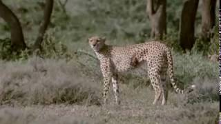 Cheetahs Against All Odds - Documentary Film