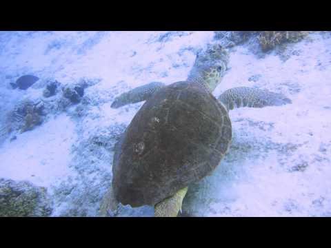 Young Loggerhead Turtle at the Lost Blue Hole, Nassau, Bahamas - June 14, 2014