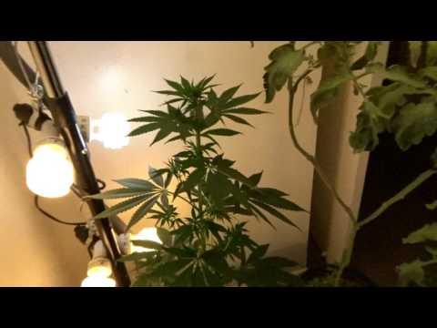 CFL grow - MBK5 - 63 days