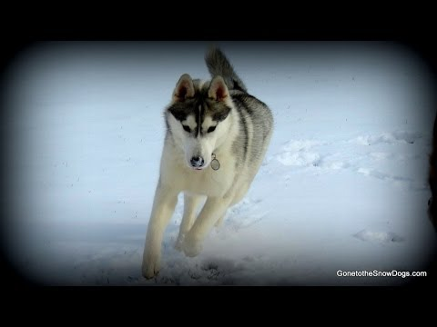 Siberian Husky Puppy View of the Yard Wordless Wednesday GoPro 3 Black