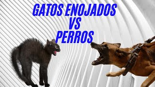Gatos enfadados contra perros