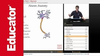 """""""Nervous System: Neurons""""   Anatomy & Physiology with Educator.com"""