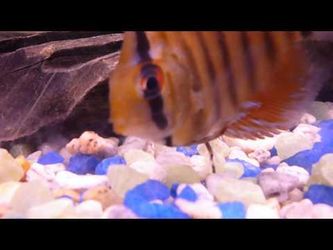 Peces Disco arrojando parasitos sin usar Metronidazol. Full video
