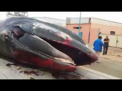بالفيديو: حوت كبير يلج ميناء طانطان ميتا