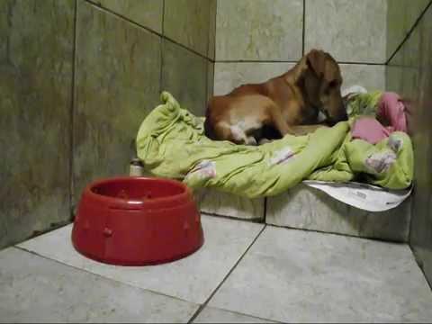 Cão com bicheira na Cabeça